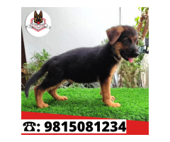 Show Quality German Shepherd Male And Female Puppies Available in Jalandhar. CALL: 9815081234
