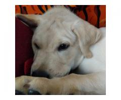 Labrador puppy looking for a new home