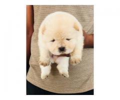 Top quality Russian face Chow Chow