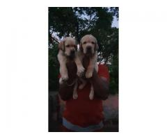 Heavy size Labrador puppies for sale
