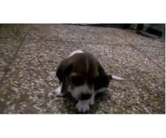 40 Days Old Beagle Puppy For SALE