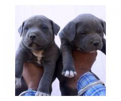 American Bully Pups For Sell Tavaqqo Pet's Store