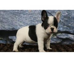 French Bulldog Puppies For Sell Tavaqqo Pet's Store