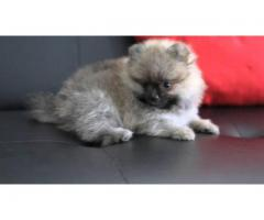 PimPom Pups For Sell Tavaqqo Pet's Store