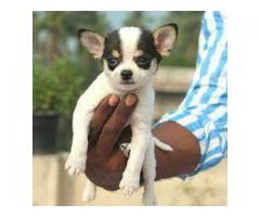 The Pet Point for Chihuahua Breed Top Quality Puppies Available 100% Pure