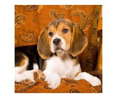 The Pet Point for Beagle Breed Top Quality Puppies Available 100% Pure