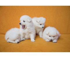 The Pet Point for Spitz Breed Top Quality Puppies Available 100% Pure