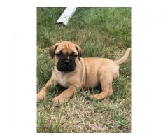 8368241911 IMPORT QUALITY BULL MASTIFF PUPPIES AVAILABLE FOR SELL
