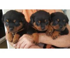 8368241911 FABULOUS ROTTWEILER PUPPIES FOR SELL