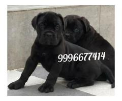 Show quality cane corso pup available