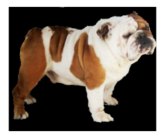 English Bulldog For Sale In Chennai