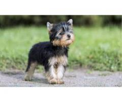 9971331250 Superb Quality Yorkshire Pups For sale in Testify Kennel