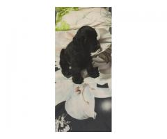 9205546224 , READY TO GO NEW HOMES COCKER PUPPIES ROYAL ORCHID PAWS