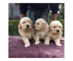 All dogs pups Available top super duper quality extraordinary