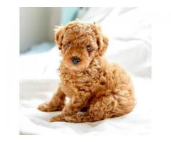 Super Duper Quality Poodle Male and Female available for sell Aryan Kennel in Delhi