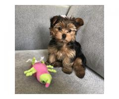 Beautiful Yorkie puppies for good home