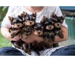 Super Duper Quality Yorkshire terrier Male and Female available for sell Aryan Kennel in Delhi