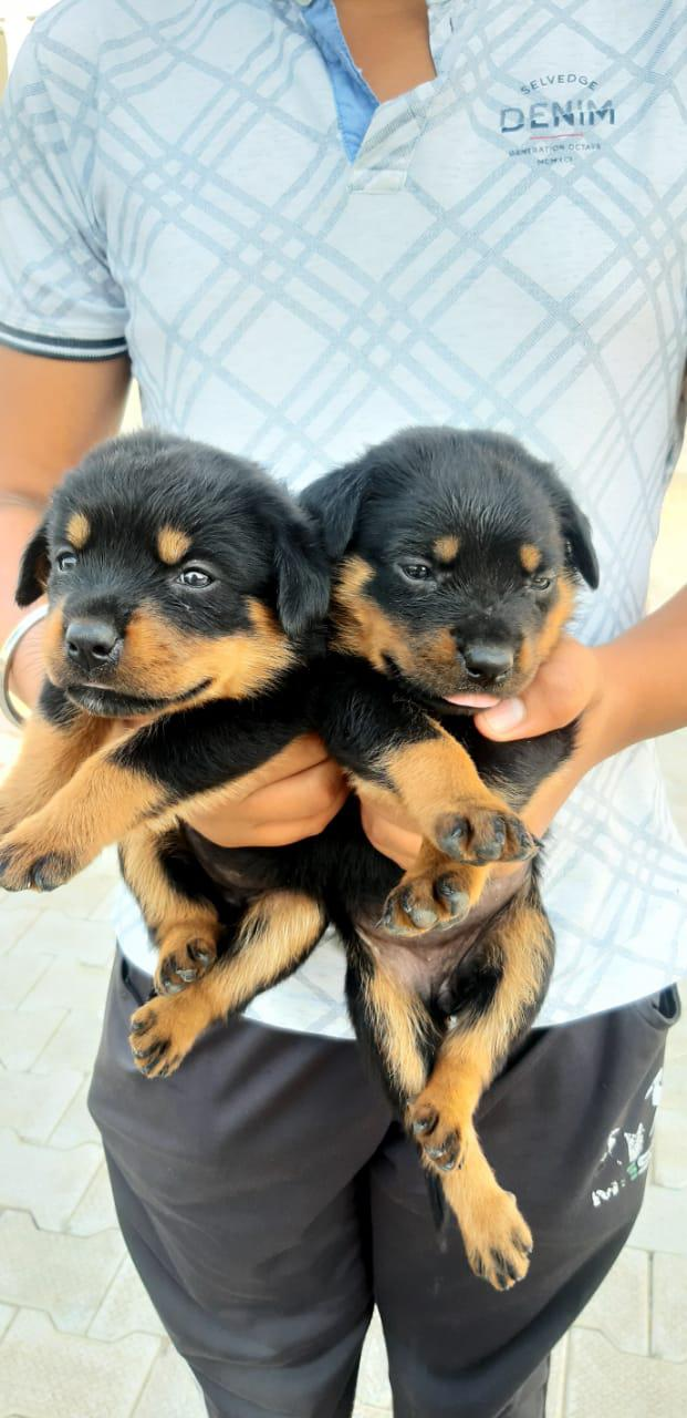 Rotweiler puppies available