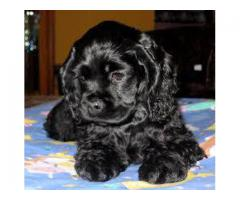 American Cocker Spaniel Puppies available 9793862529