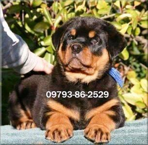 Big Head Rottweiler Puppies available 9793862529