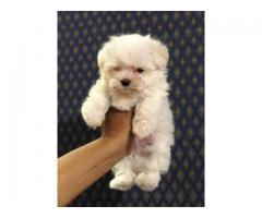 Maltipoo Pups For Sale
