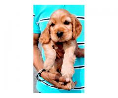 Cocker spaniel puppies available for sale