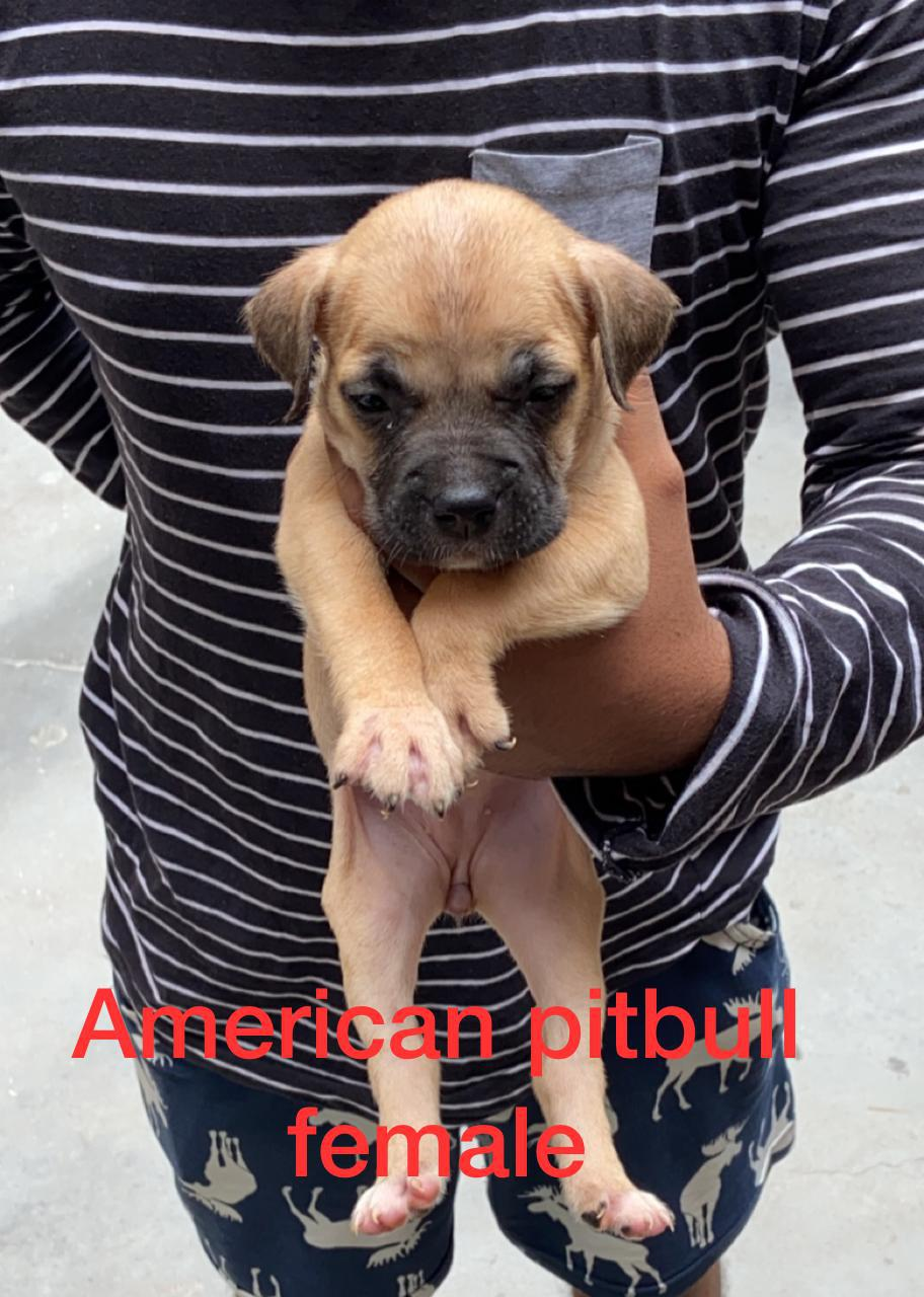 American Pitbull puppies are available 9582799502 , 7042846448