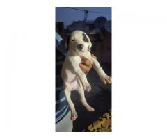 3MONTHS  PURE PAK BULLY PUPPIES FOR SALE