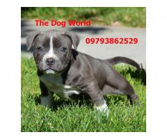 Imported American Pitbull Puppies available 9793862529