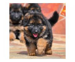 German shepherd puppies Available for sale