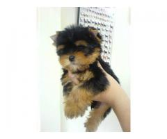 The High Quality or Pure Breed Yorkshire terrier Puppies on Sell Asia Pet Shop