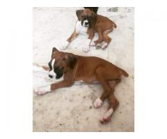 100%Pure Breeds Boxer Pups For Sale Quality Only Available Here. 8882234770
