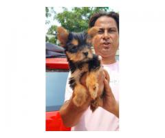 100%Pure Breeds Yorkshire Terrier Pups For Sale Quality Only Available Here. 8882234770