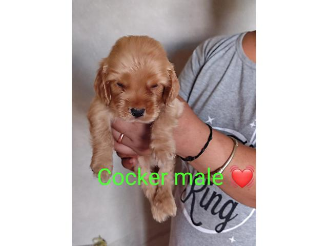 100%Pure Breeds American Cocker Pups For Sale Quality Only Available Here. 8882234770
