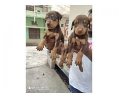 100%Pure Breeds Doberman Pups For Sale Quality Only Available Here. 8882234770