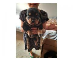 100%Pure Breeds Rottweiler Pups For Sale Quality Only Available Here. 8882234770