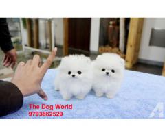 Mini Size Pom Puppies available 9793862529