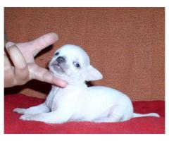 The High Quality or Pure Breed chihuahua Puppies on Sell Asia Pet Shop