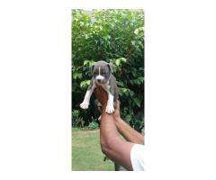 Pitbull Puppies For Sale Male Female Both Are Available Tavaqqo Pets Shop