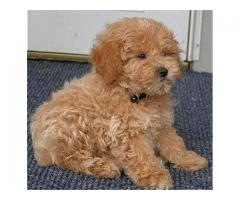 Poodle Puppy Available For Sale in Delhi