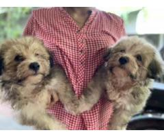 Lhasa Apso puppies available for sale
