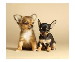 Fawn Color Chihuahua Male Pup For Sale in Delhi