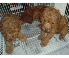 The Best Point for 100% Pure Quality Poodle Puppies for sale in Delhi
