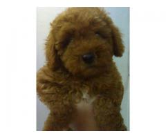 The Best Point for 100% Pure Quality Toy Poodle Puppies for sale in Delhi