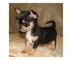 Black And Tan Chihuahua Puppy Available For Sale