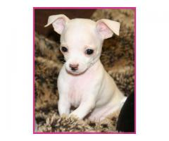 ROYAL BREED OF PUPPIES CHIHUAHUA MALE AND FEM ALE PUPPS AT THE PET POINT IN DELHI