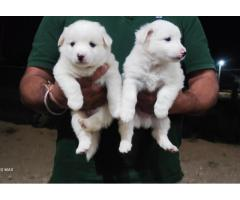 Pure White Spitz Puppy Available For Sale in Delhi Best Price