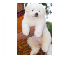 SHOW QUALITY LHASA APSO PUPPIES AVBL CONTACT 8838311044