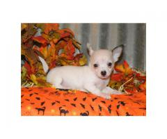 Unique Dog Breed of Chihuahua Puppies Ultimate Stock Available in Delhi NCR