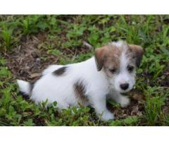 Unique Dog Breed of Jack Russell Terrier Puppies Ultimate Stock Available in Delhi NCR